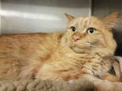 Adopt CJ a Orange or Red Tabby Domestic Mediumhair / Mixed (medium coat) cat in