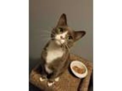 Adopt Amie a Domestic Short Hair