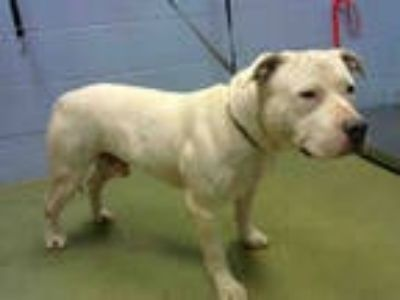 Adopt a White American Pit Bull Terrier / Mixed dog in Moreno Valley