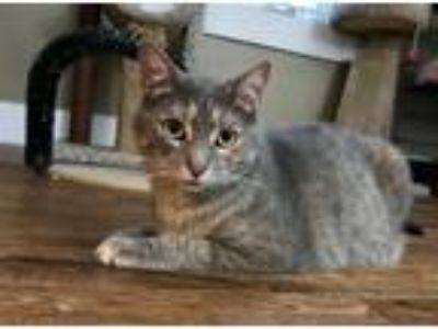 Adopt Una a Gray or Blue Domestic Shorthair (short coat) cat in Chicago