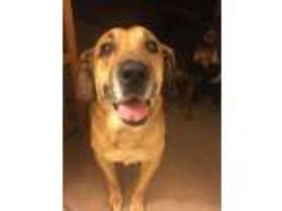 Adopt Ethel Schwabacher a Brown/Chocolate - with Tan German Shepherd Dog /
