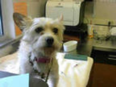 Adopt a Brown/Chocolate Cairn Terrier / Mixed dog in Sacramento, CA (25325455)