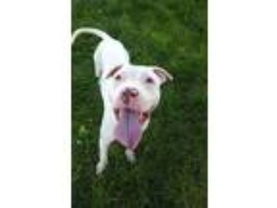 Adopt Mash a White Pit Bull Terrier / Mixed Breed (Medium) / Mixed dog in