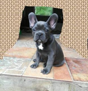 French Bulldog PUPPY FOR SALE ADN-78474 - Blue Brothers Frenchie