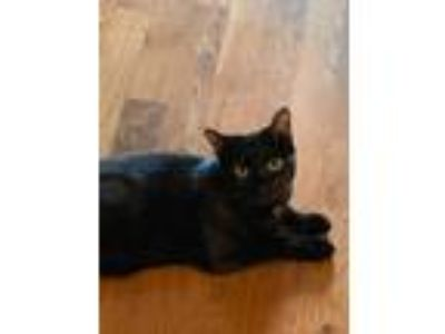 Adopt Dior a Spotted Tabby/Leopard Spotted American Shorthair / Mixed cat in