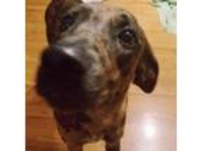 Adopt Avalon a Catahoula Leopard Dog
