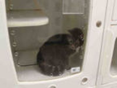 Adopt GUS a Gray or Blue Domestic Shorthair / Mixed (short coat) cat in Upland