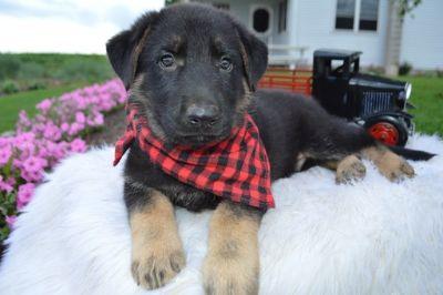 German Shepherd Dog PUPPY FOR SALE ADN-88633 - RANGER