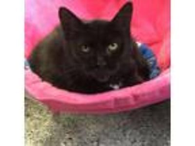 Adopt Dawn a Domestic Medium Hair