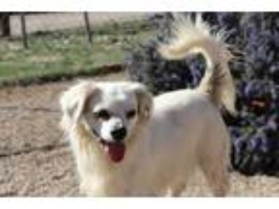 Adopt Shelby a White Spaniel (Unknown Type) / Mixed dog in Acton, CA (22268007)