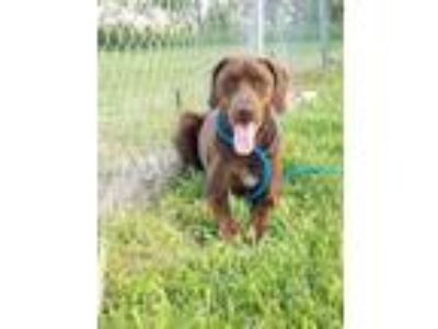 Adopt Fiona a Brown/Chocolate Rhodesian Ridgeback / German Shorthaired Pointer /