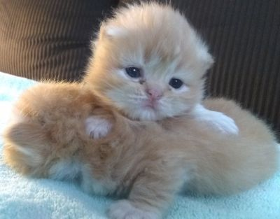 Gorgeous Red Registered Persian Kittens (Male and Female)