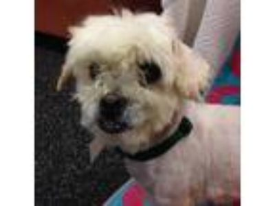 Adopt Lolli a White Shih Tzu / Mixed dog in Milwaukee, WI (25926803)