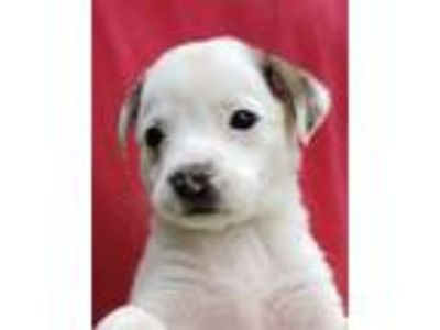 Adopt Twinkle a White - with Brown or Chocolate Terrier (Unknown Type