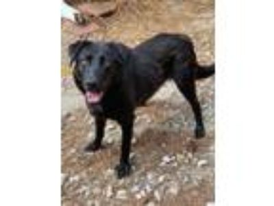 Adopt Dreamer a Retriever (Unknown Type) / Mixed Breed (Medium) / Mixed dog in