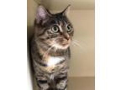 Adopt Rizzo! a Domestic Short Hair