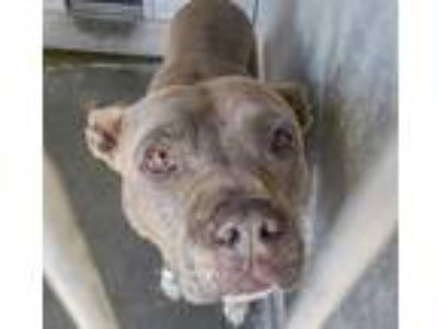 Adopt Eleanor Meyer a Brown/Chocolate - with White Pit Bull Terrier / Mixed dog