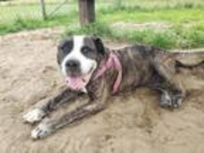 Adopt Mama Cas a American Staffordshire Terrier / Mixed dog in Vineland