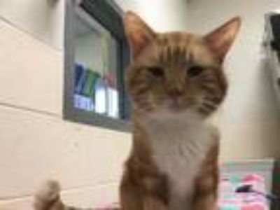 Adopt LUCAS a Domestic Short Hair
