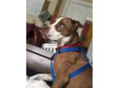 Adopt Jaxyn a Red/Golden/Orange/Chestnut - with White Boxer / American Pit Bull