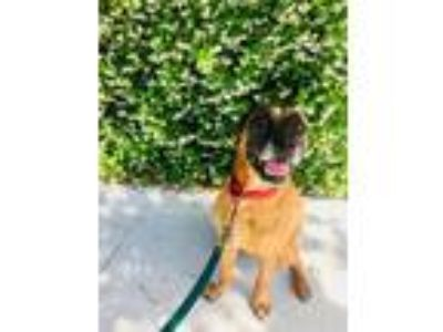 Adopt Rusty a Boxer / Mixed dog in New Orleans, LA (23151006)
