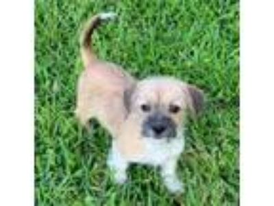 Adopt Tango CG in MS a Shih Tzu, Miniature Pinscher