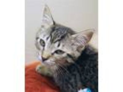 Adopt Ziva a Domestic Short Hair