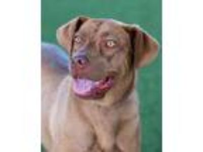 Adopt Willow Belle a Tan/Yellow/Fawn Weimaraner / Mixed dog in Loxahatchee