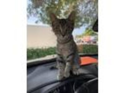 Adopt Nena a Gray, Blue or Silver Tabby Domestic Shorthair / Mixed (short coat)