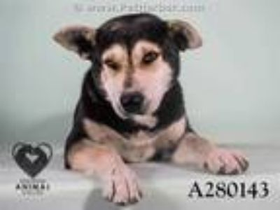 Adopt CJ a Black - with White American Pit Bull Terrier / Mixed dog in STOCKTON
