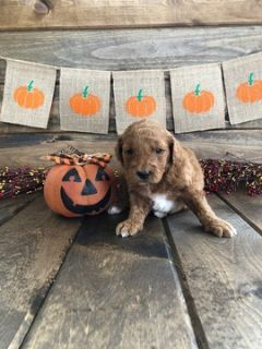 Goldendoodle-Poodle (Miniature) Mix PUPPY FOR SALE ADN-102165 - Adorable Female Mini Goldendoodle