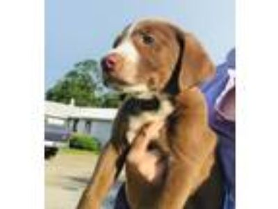 Adopt Baby Felicity a Labrador Retriever / Beagle / Mixed dog in Potomac