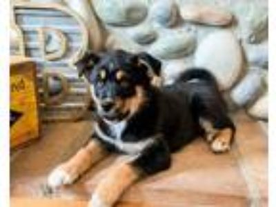 Adopt Bourbon a Husky / Mixed Breed (Medium) / Mixed dog in SHAKOPEE