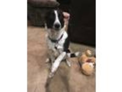Adopt Milly a Black - with White Border Collie / Harrier / Mixed dog in Saratoga
