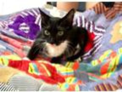 Adopt Sylvester a Black (Mostly) Domestic Shorthair (short coat) cat in