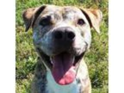 Adopt Thor a Pit Bull Terrier, Mixed Breed