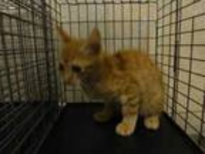 Adopt Timber a Orange or Red Domestic Mediumhair / Domestic Shorthair / Mixed