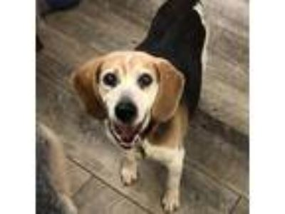Adopt Nomad a Brown/Chocolate Beagle dog in Austin, TX (25596879)