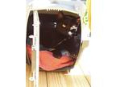 Adopt Unknown a All Black Domestic Shorthair / Mixed cat in Cambria