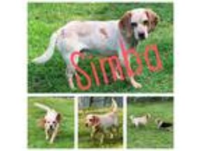 Adopt Simba a Red/Golden/Orange/Chestnut - with White Beagle / Mixed dog in