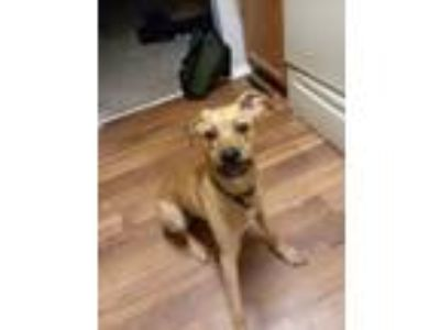 Adopt Bowie a Tan/Yellow/Fawn German Shepherd Dog / American Pit Bull Terrier