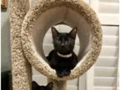 Adopt Tom a All Black Bombay (short coat) cat in San Diego, CA (23303597)