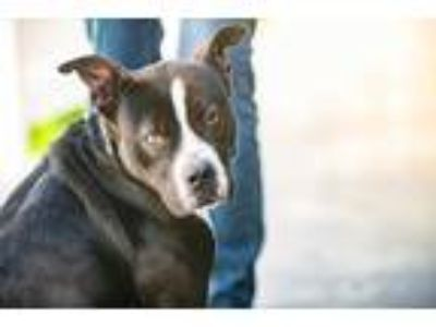 Adopt Barbie a Black American Staffordshire Terrier / Mixed dog in Terre Haute