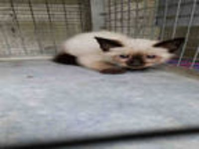 Adopt ACHARA a Brown or Chocolate (Mostly) Siamese / Mixed (short coat) cat in