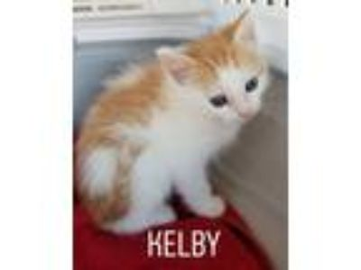 Adopt Kelby a Domestic Short Hair