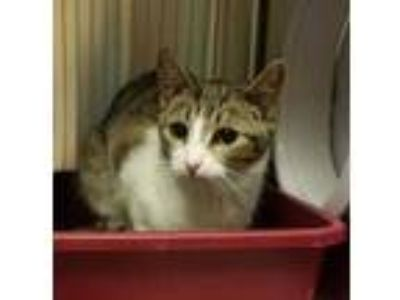 Adopt 'Snoopy' a White Domestic Shorthair / Domestic Shorthair / Mixed cat in
