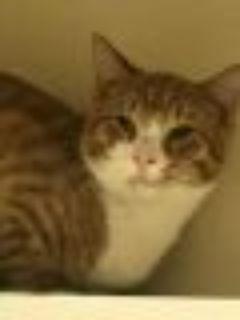 Kovu Domestic Short Hair Cat