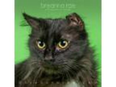 Adopt Blackberry a Domestic Mediumhair / Mixed cat in Sheboygan, WI (25160537)