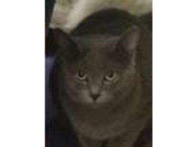 Adopt Dove a Russian Blue