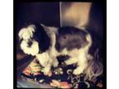 Adopt Brody a Black - with White Shih Tzu / Mixed dog in Grand Bay